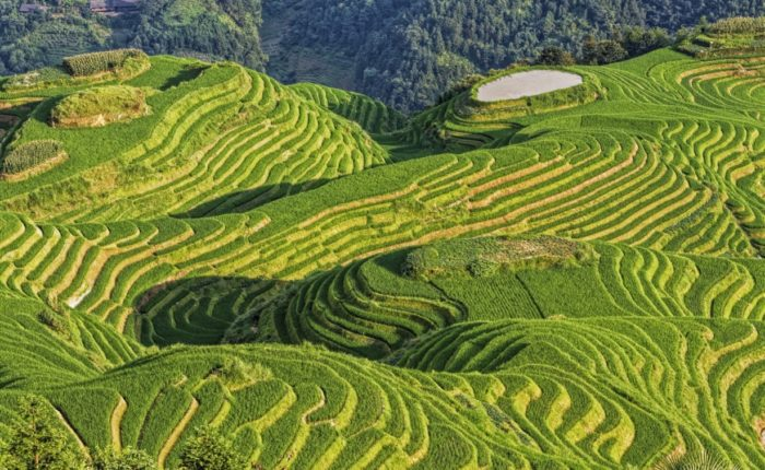 Backbone Rice Terraces, Or Longji Rice Terraces, Located Next To The Village Of Ping'an In Northern Guilin Web Ready