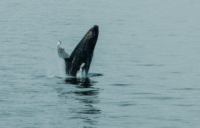 Breaching Humpback Whale Bransfield Straits © Polar Latitudes