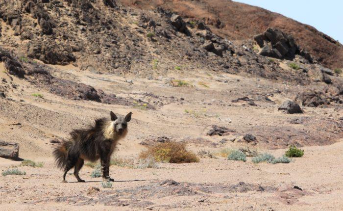 Brown Hyena | Photo: Flip Stander