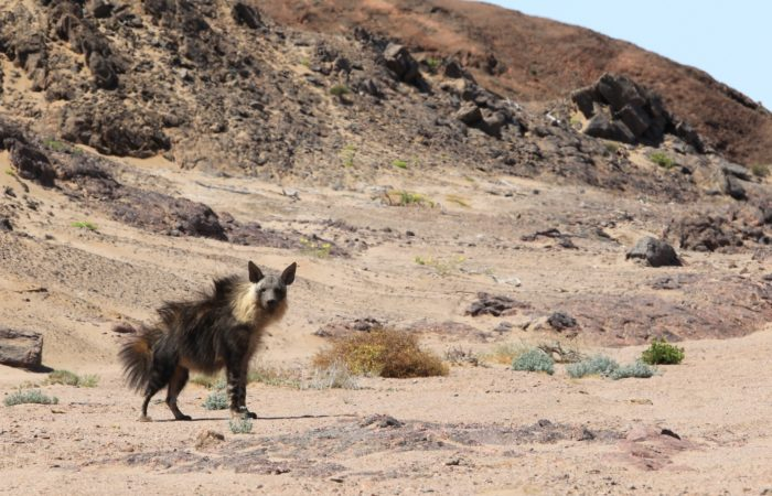 Brown Hyena | Photo: Flip Stander
