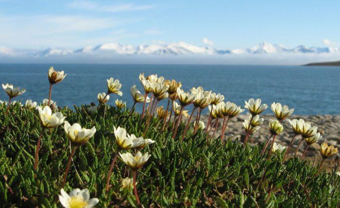 Dryas Octopetala Eisfjord M.fischer 3827932