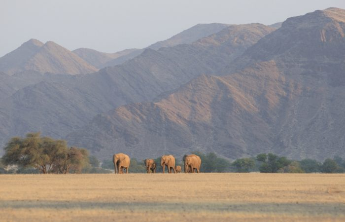 Desert-Adapted Elephants | Photo: Flip Stander
