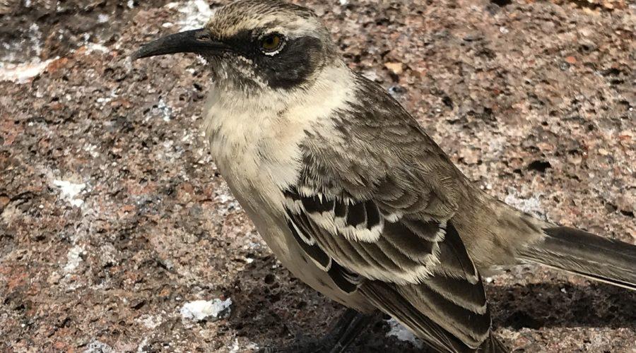 Genovasa Mockingbird Web Ready