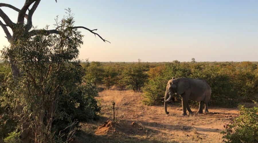 Elephant in Golden Light, Kruger National Park, South Africa