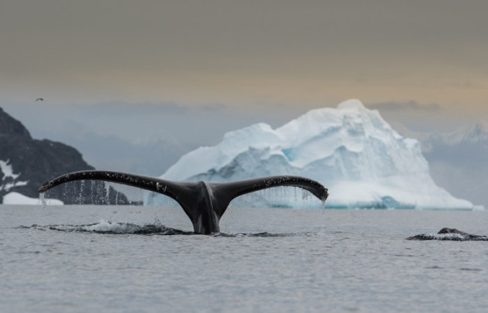 Humpback Fluke © Polar Latitudes