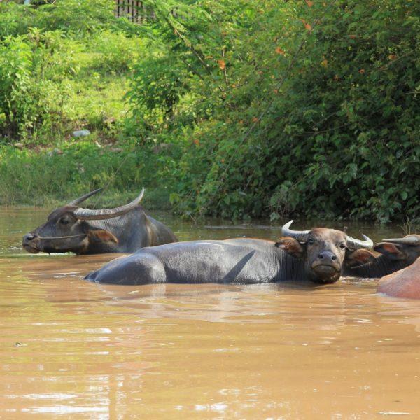Buffalos Resting At Nahin Village