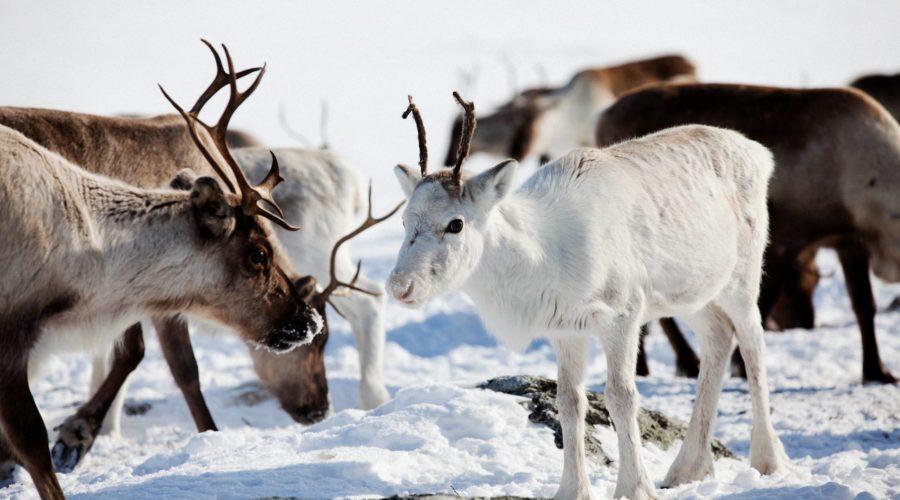 Lapland Reindeer (white Reindeer With Herd) Mikko Ryhänen Visit Finland Mg 8301 Copy (2)