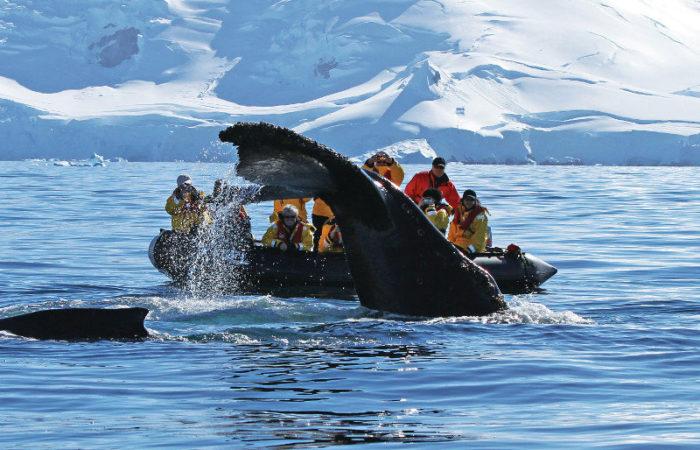 Late Wildlife Whale Humpback Flukes © Polar Latitudes