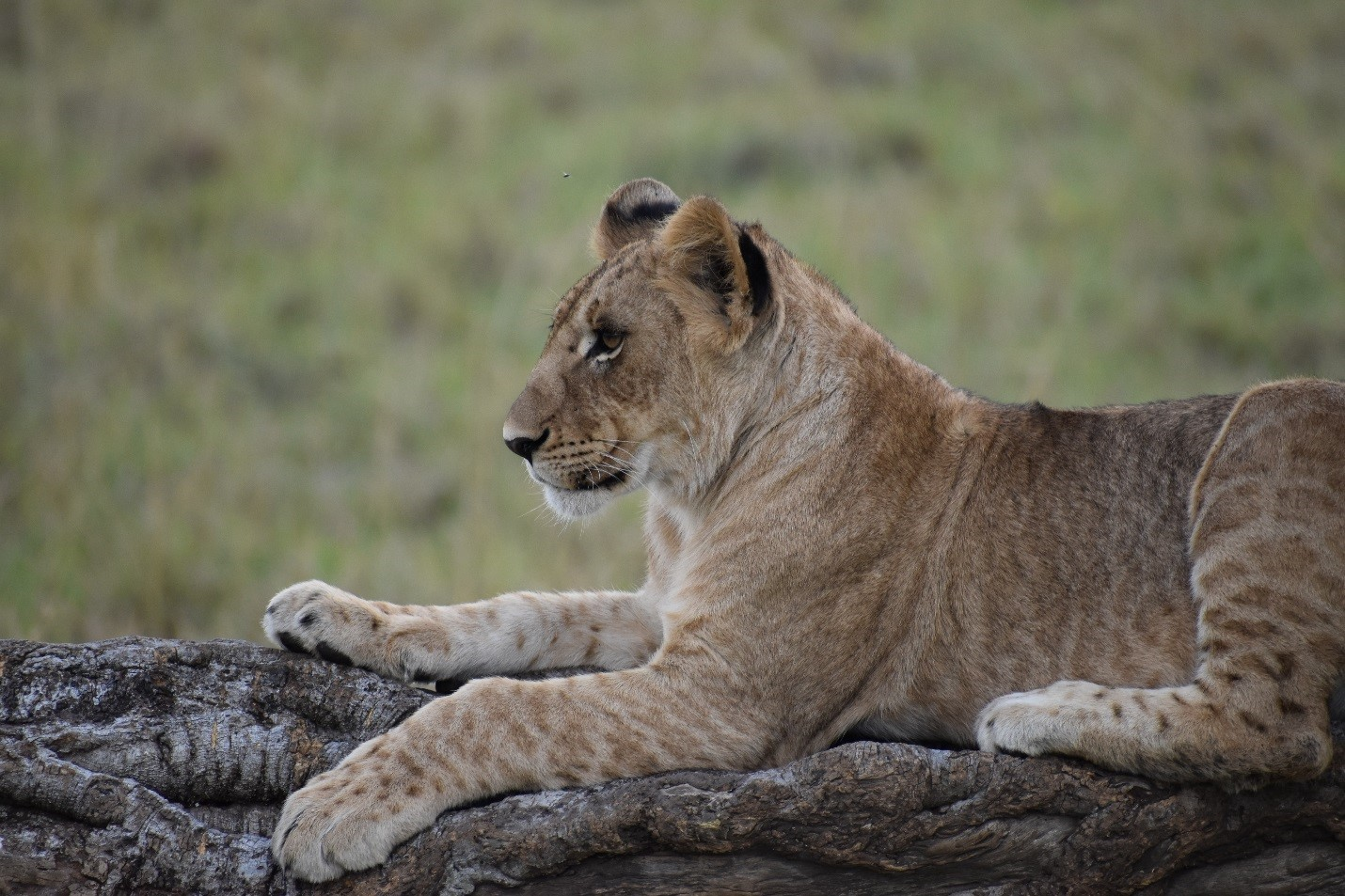 Madomo Pride Cub Closeup
