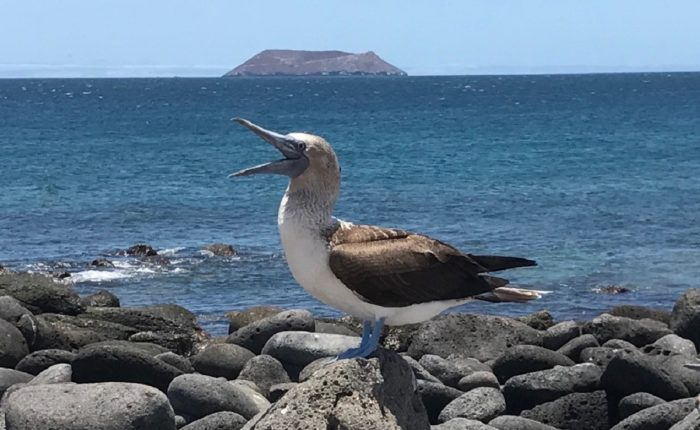 North Seymour Bluefooted Booby
