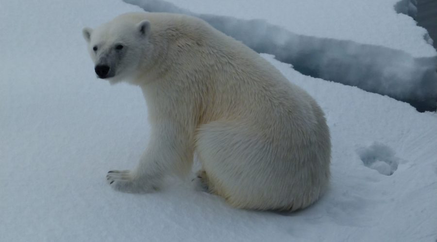 P Bear 2 Svalbard (mel Blumenthal Bo Client) Web Ready