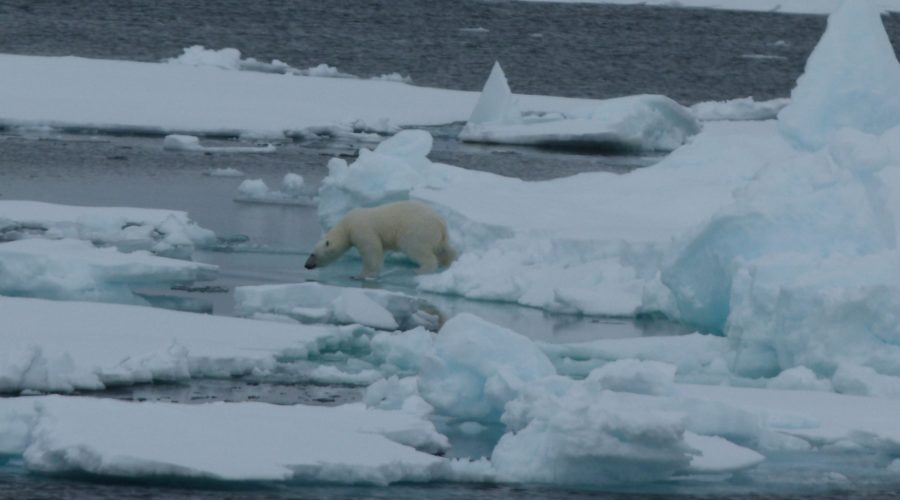 P Bear Svalbard On Ice Flows (mel Blumenthal Bo Client) Web Ready