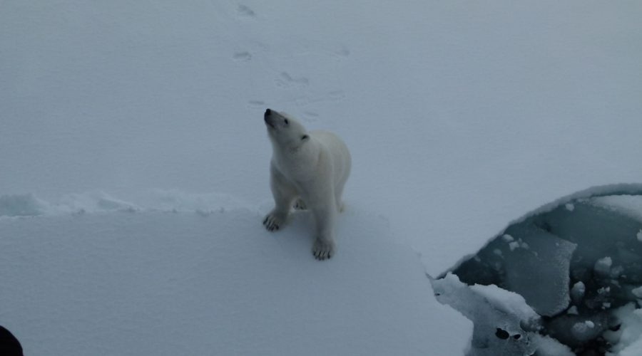 P Bear On Snow Svalbard (mel Blumenthal Bo Client) Web Ready