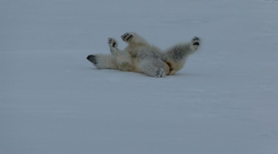 P Bear Rolling On Svalbard Snow (mel Blumenthal Bo Client) Web Ready