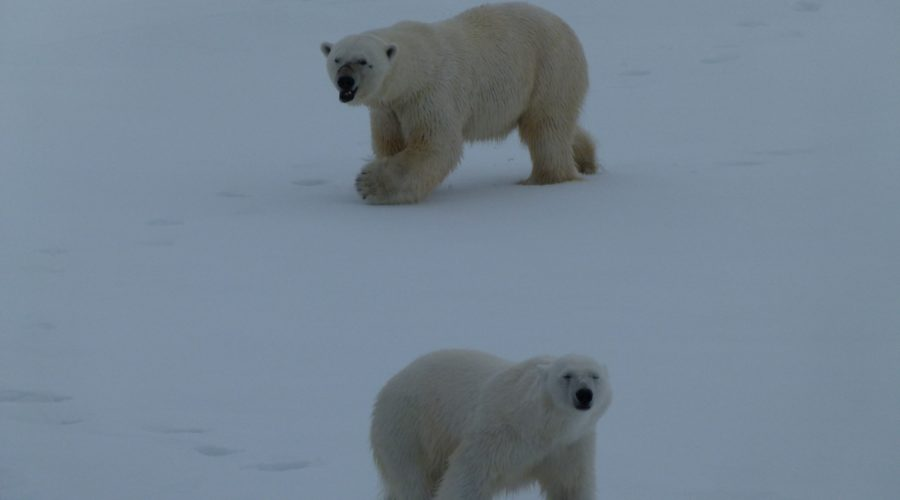 Polar Bear Pair (mel Blumenthal Bo Client) Web Ready