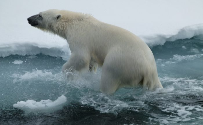 Polar Bear Coming Out Of Water Svalbard (elizabeth Blumenthal Bo Client) Web Ready