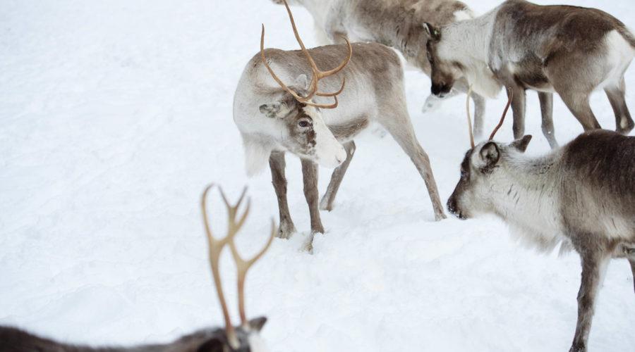 Reindeer Herd Juho Kuva Visit Finland2356 4 Dsc0317