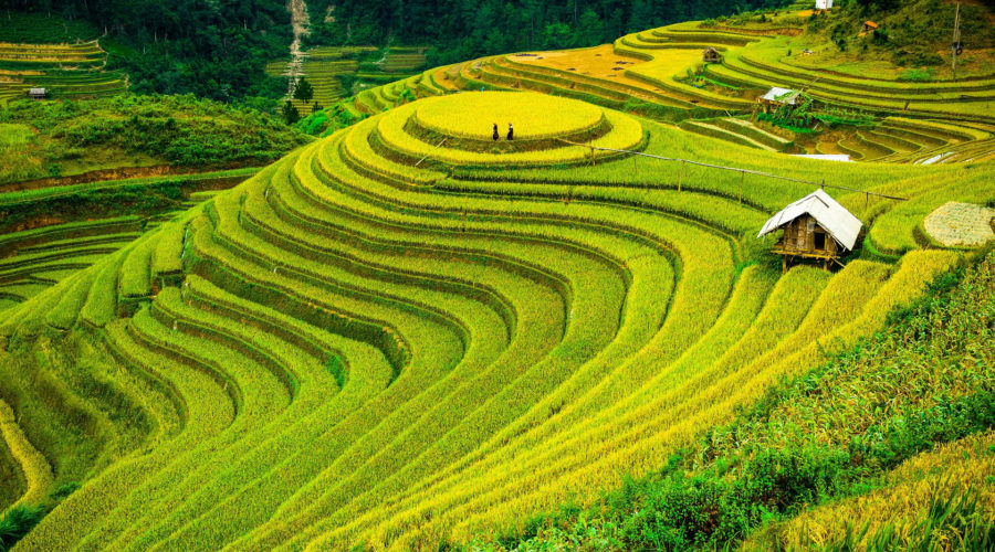 Rice Fields On Terrace Of Mu Cang Chai Wr
