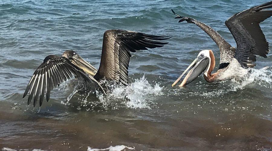 Santiago Pelicans