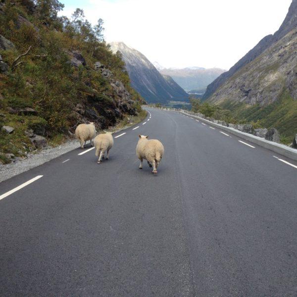 Sheep On Trollstigen Road Linda Mccormick Web Ready
