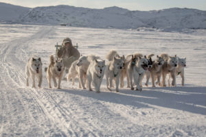 Sled Dogs On The Trail Outside Ilulissat In Greenland Web Ready
