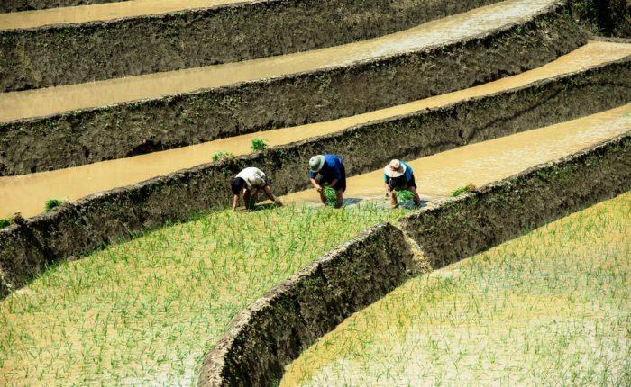 Terraced Rice Field In Water Season In Sapa