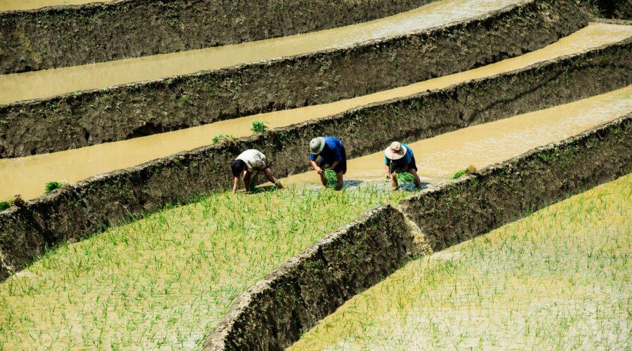 Terraced Rice Field In Water Season