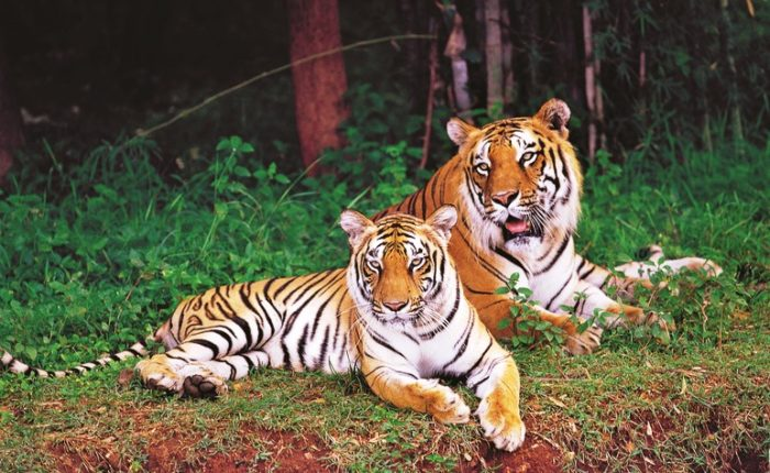 Tiger Couple At Bannerghattanational Park