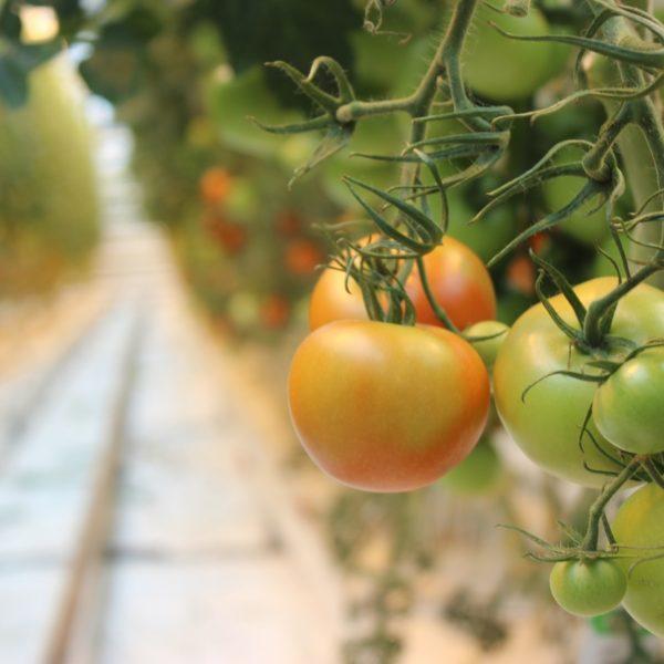 Tomatos Rachel Habas, Bo Client Web Ready