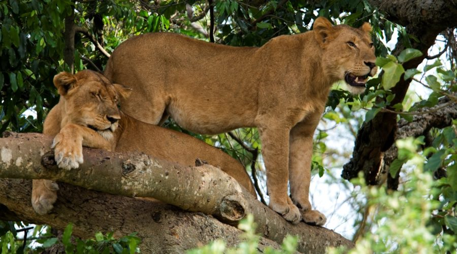 Tree Climbing Lions, Queen Elizabeth National Park