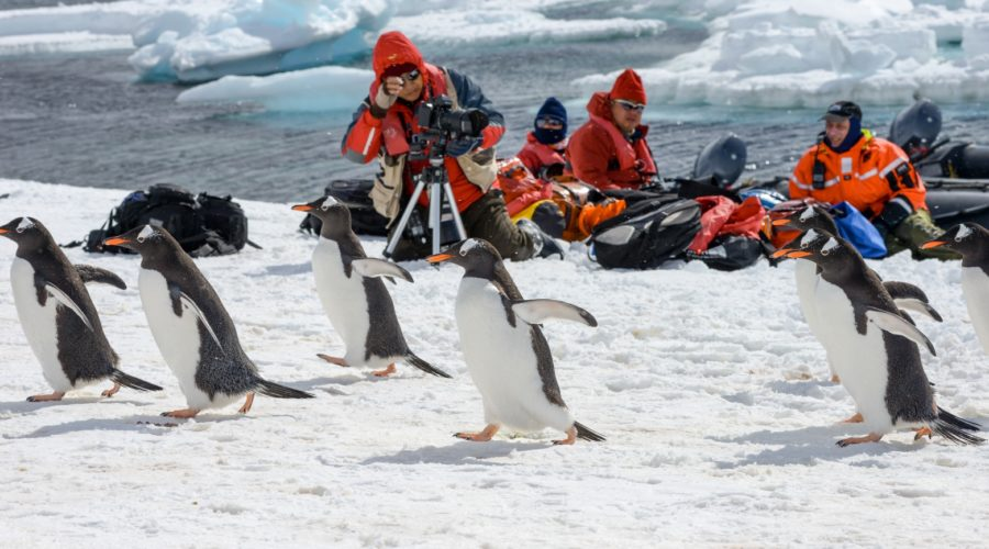 Wildlife Penguins Gentoo & Pax Web Ready