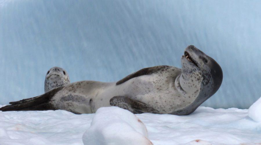 Wildlife Seal Leopard 1