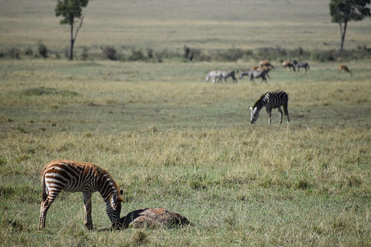 Zebra Foal In The Mara