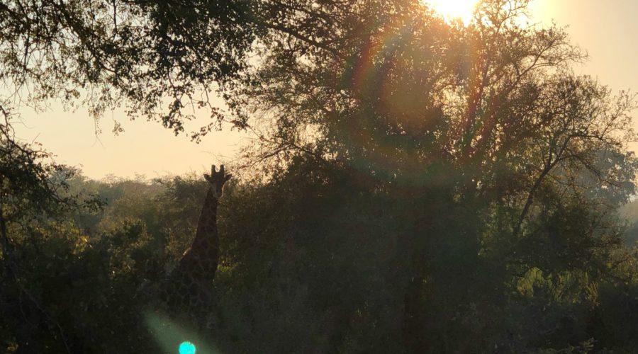 Giraffe At Sunset, Kruger National Park, South Africa