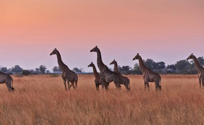 Photo: Kai-Arne Jordan / Giraffe at Nxai Pan Camp