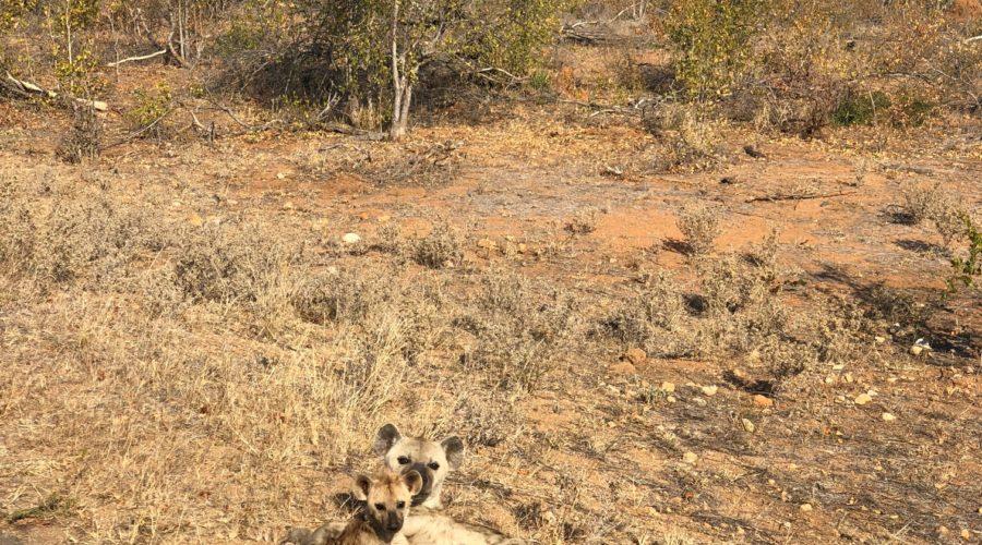 Hyena Nursing Pup, Kruger National Park, South Africa