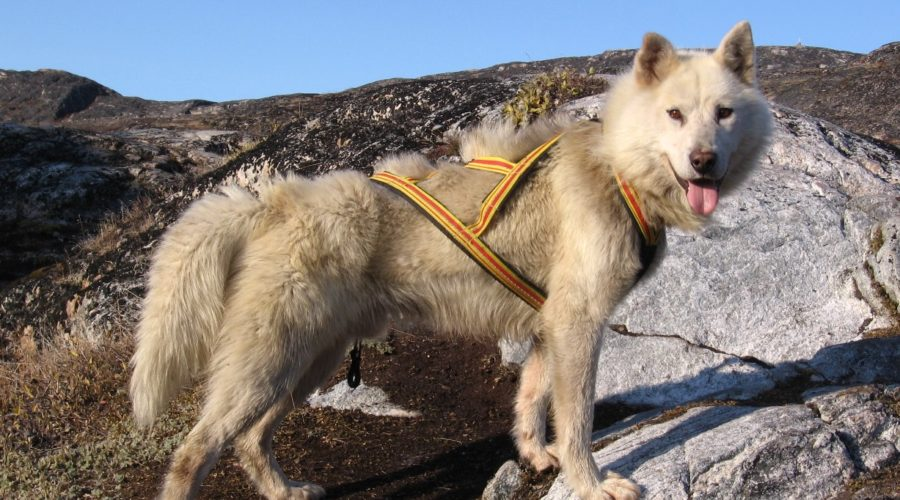 Sled Dog Leading Ilulissat Hike Betina Kohler Web Ready