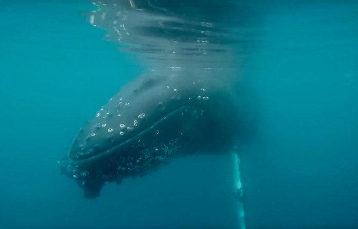 Underwater Humpback Whale © Polar Latitudes