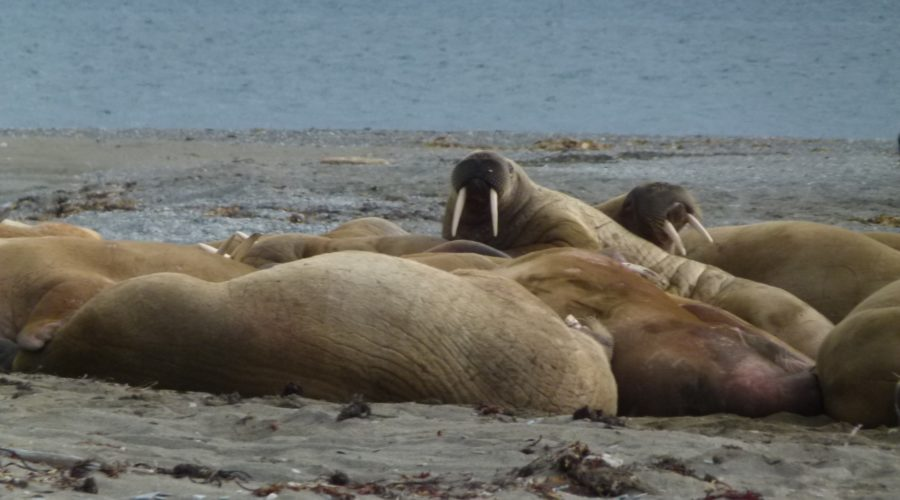 Walrus Group Lounging Svalbard (mel Blumenthal Bo Client) Web Ready